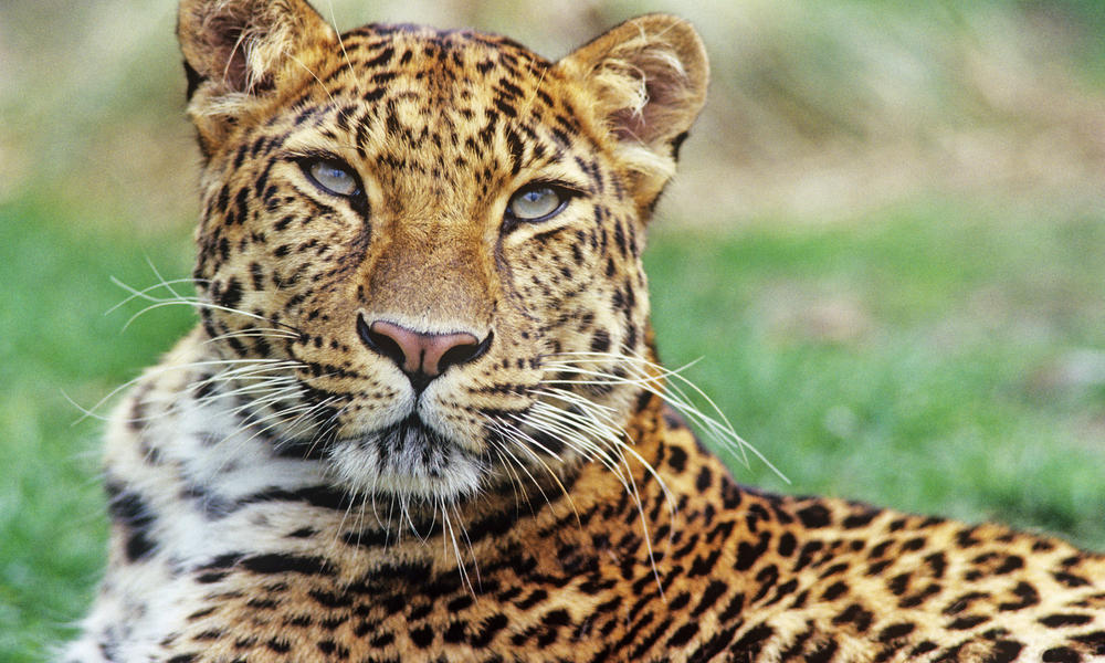 Call To Artists | The Amur leopard is poached largely for its beautiful, spotted fur. Agriculture and villages surround the forests where the leopards live. As a result the forests are relatively accessible