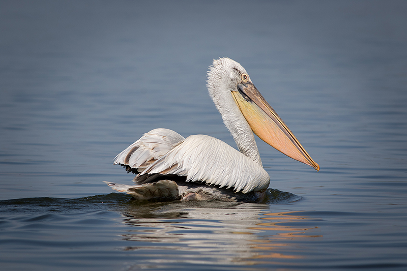 Call To Artists | The main threat to Dalmatian pelicans in Greece is human disturbance of the colonies during breeding season. Illegal hunting and power line collisions are also important human-generated factors that contribute to pelican mortality