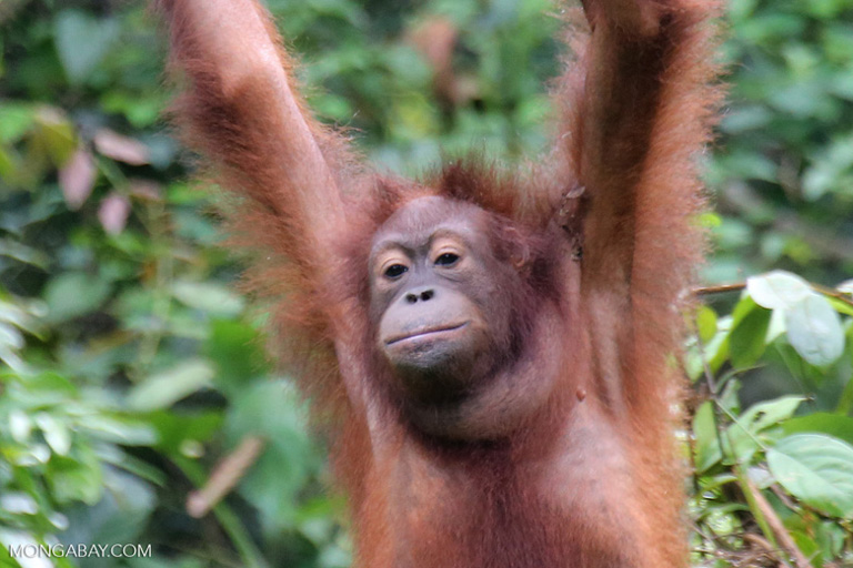 Call To Artists | The Bornean orangutan (Pongo pygmaeus) is now critically endangered, with populations in sharp decline due to habitat destruction and illegal hunting
