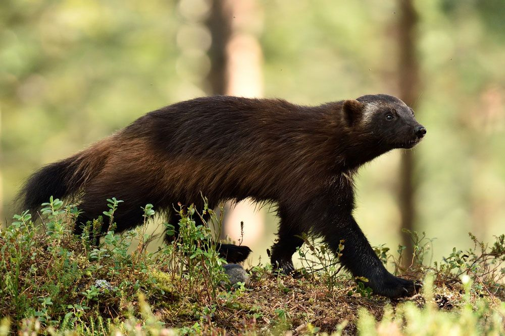 Call To Artists | By 2100, wolverines could lose most of their habitat south of Canada because of climate change.