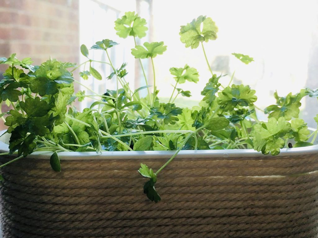 Finished planter with parsley | Drawing United