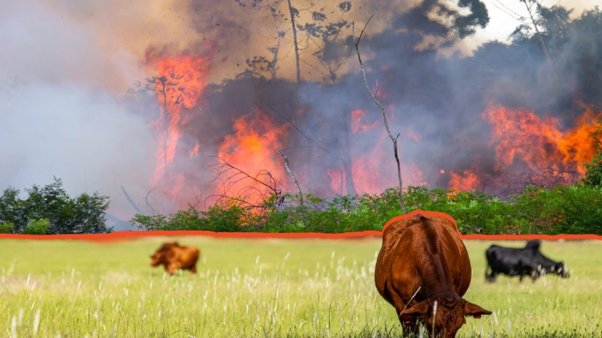 Amazon Forest burning with cattle in the foreground