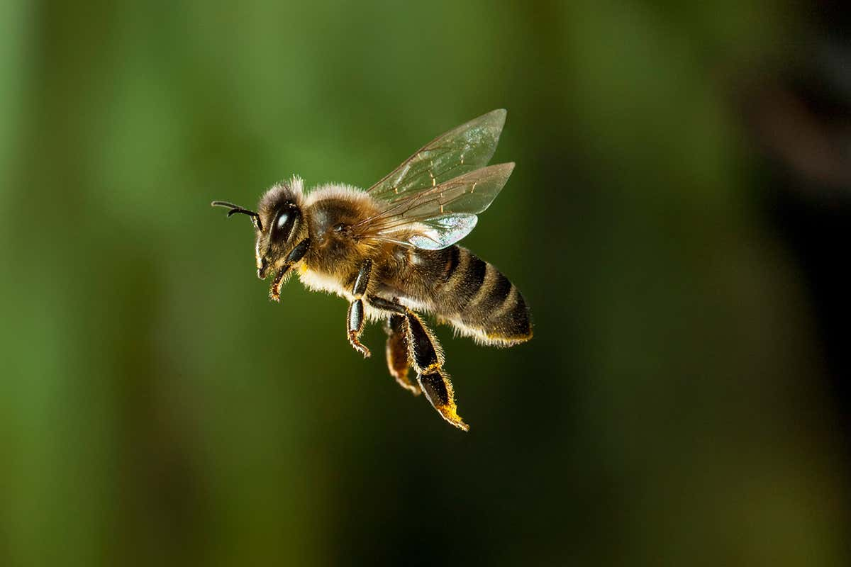 A bee flying